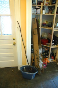 Peach tree from a box